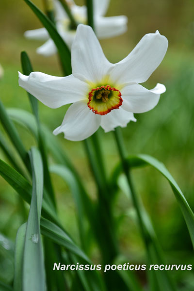 daffodil_234_flower_evenley