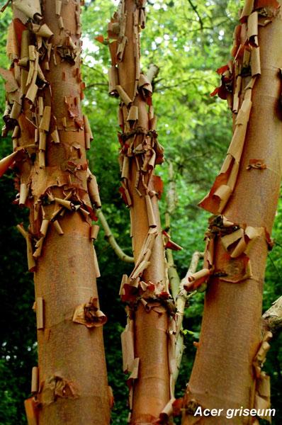 Acer-Griseum-Bark