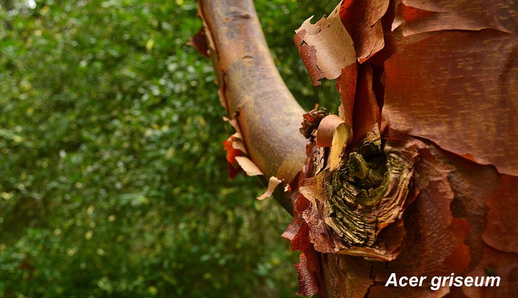 Acer-griseum