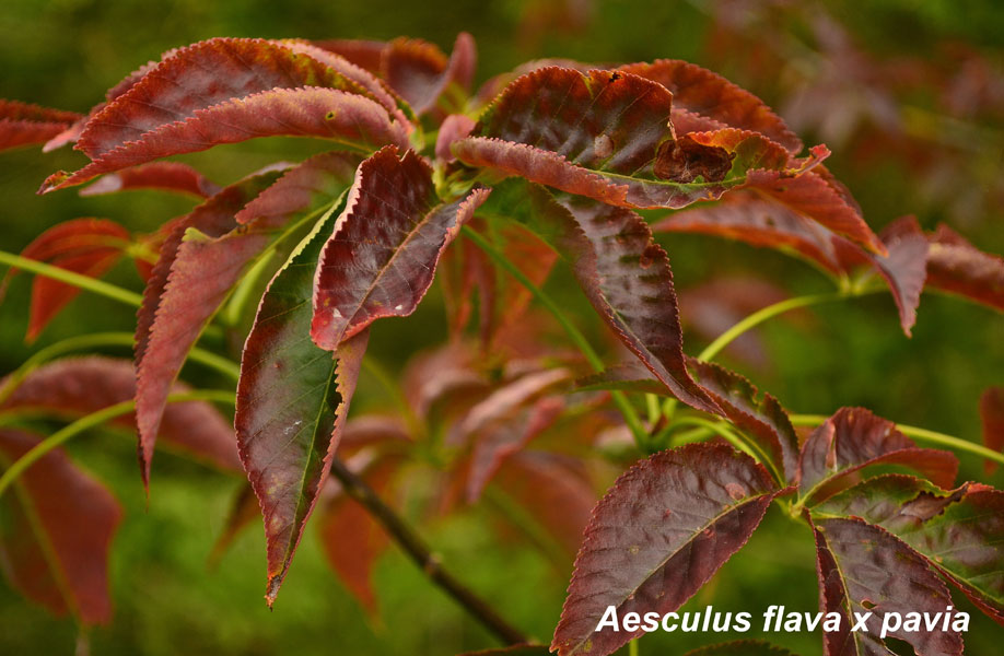 Aesculus-flava-x-pavia