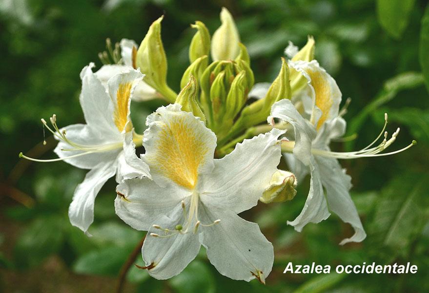 Azalea-Occidentale