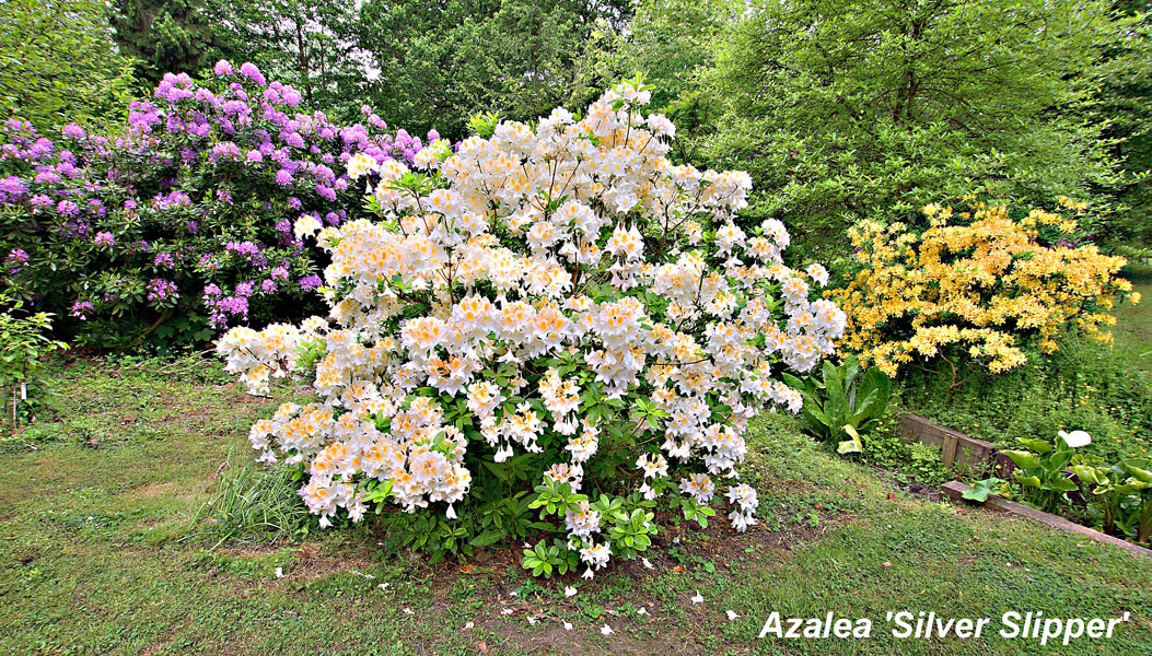 Azalea-Silver-Slipper