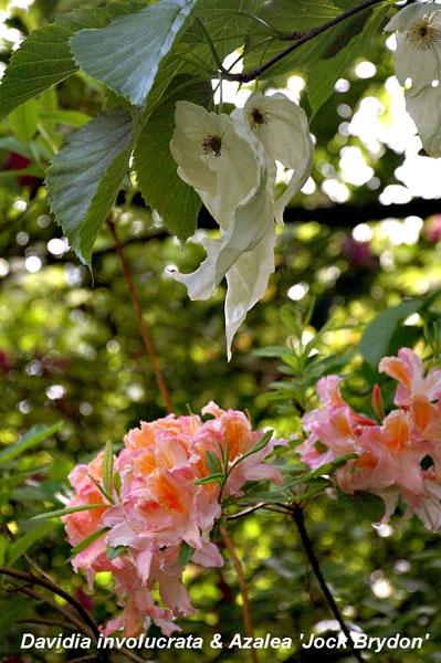 Azalea-and-handkerchief_NEW