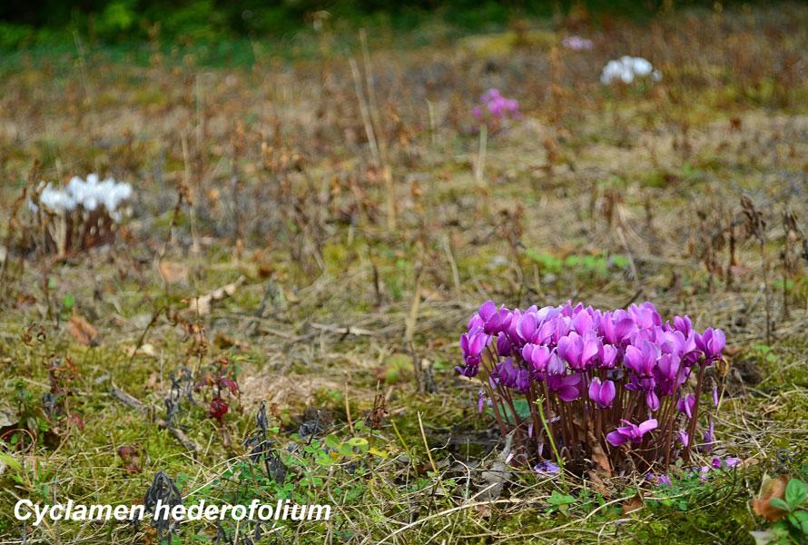 Cyclamen_hederofolium