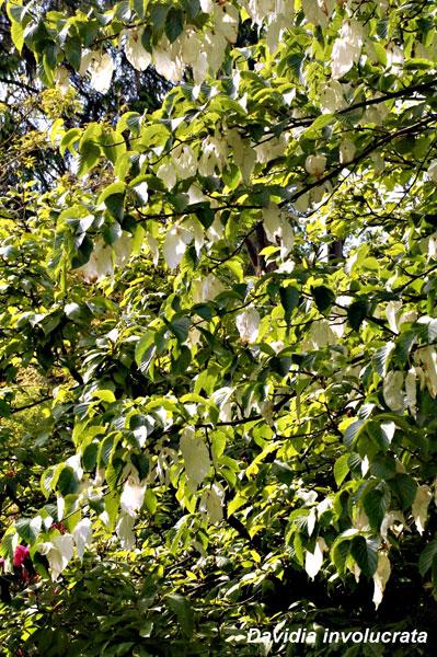 Handkerchief-tree