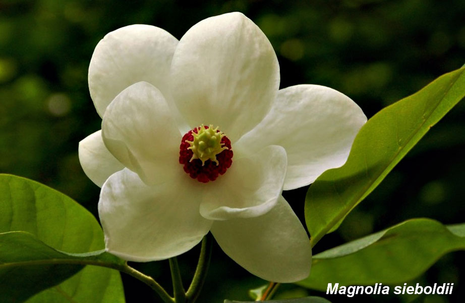 Magnolia-Siebolii-flower