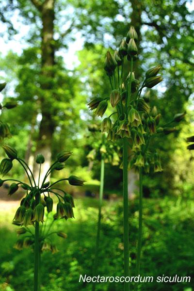 Nectaroscordum-siculum