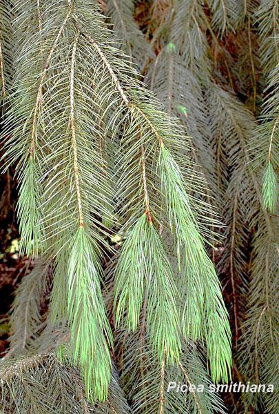 Picea-Smithiana