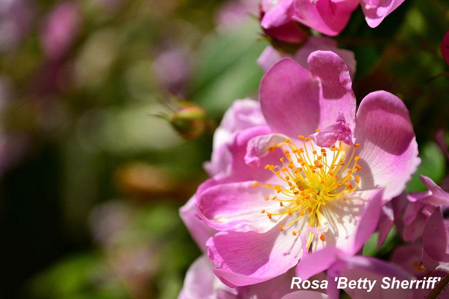 Rosa-'Betty-Sherriff'