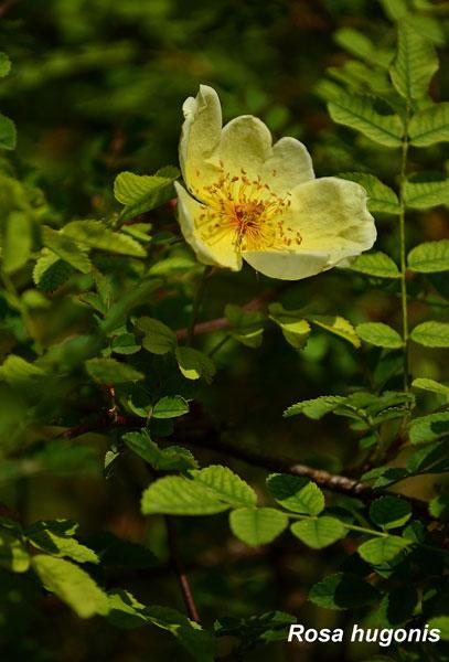 Rosa-Hugonis