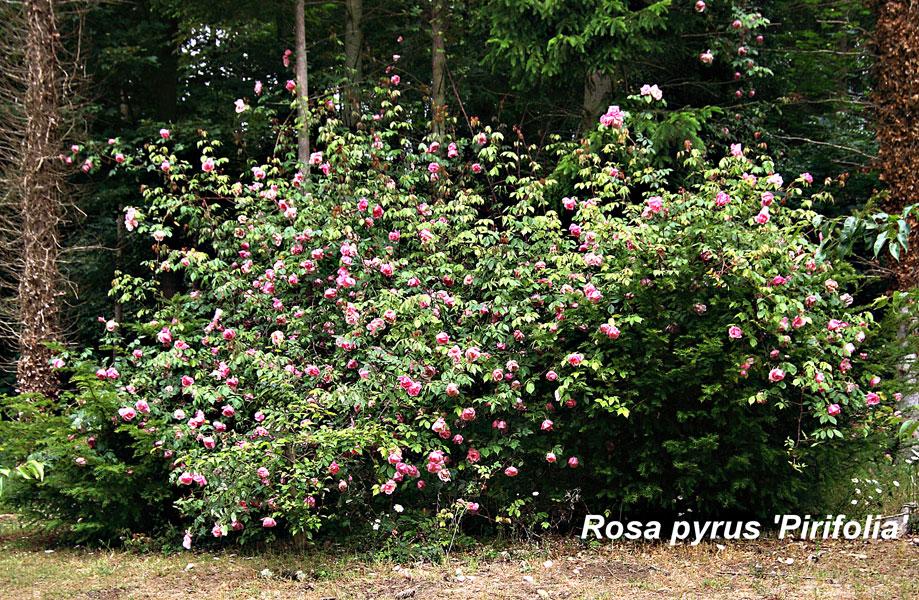 Rosa-Pyrus-Pirifolia-by-Adrian-Wates
