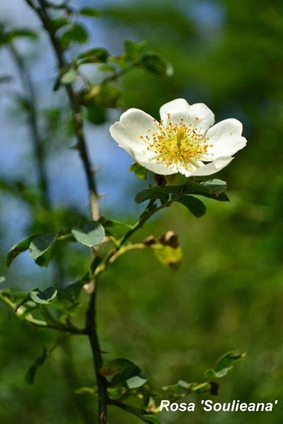 Rosa-'Soulieana'