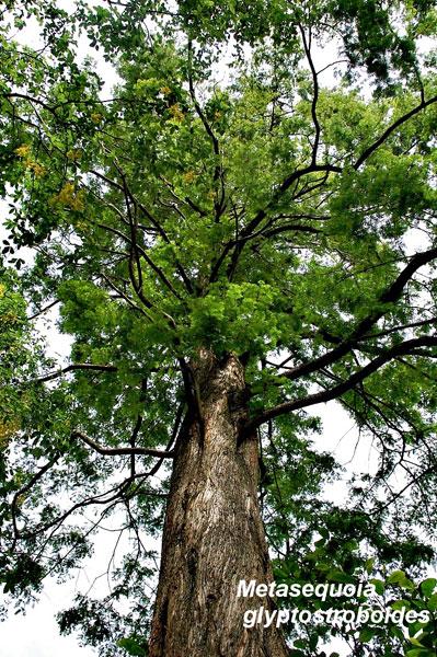 mature-Metasequoia