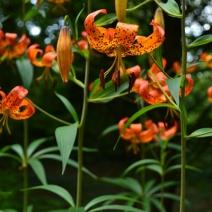 martagon_orange_beauty