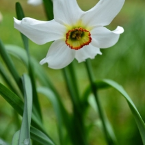 daffodil_234_flower_evenley