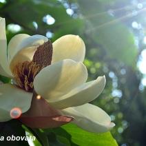 magnolia_23
