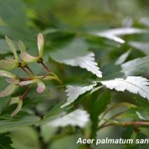 Acer-palmatum-sangu-kaku
