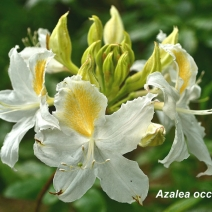 Azalea-Occidentale