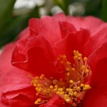Camellia 'Clarise Carleton'