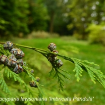 Chamaeocyparis-lawsoniana