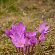 Colchicum-autumnalis