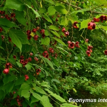 Euonymus_macropterus