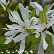 Magnolia_stellata_king_rose