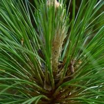Pinus-palustris
