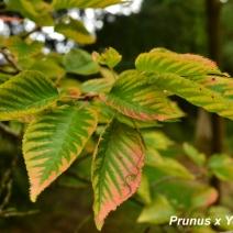 Prunus-x-Yeodensis