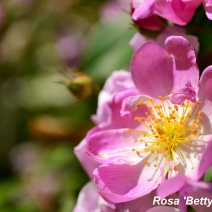 Rosa-'Betty-Sherriff'