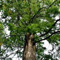 mature-Metasequoia