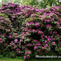 mature-Rhododendron