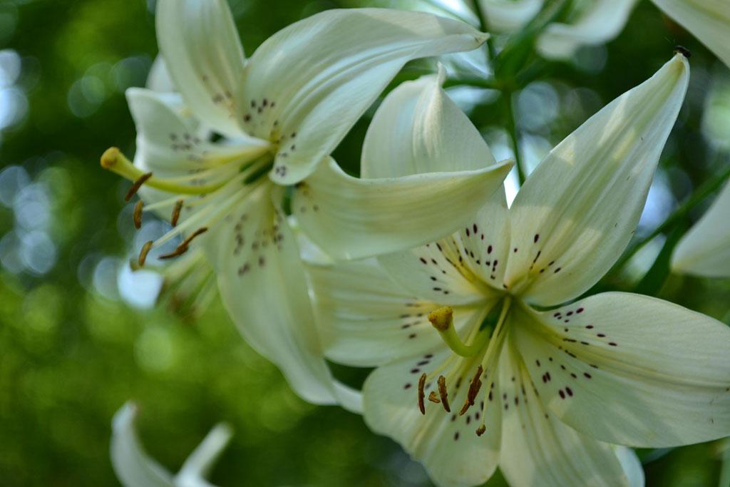 Lilium 'Sweet Surrender'