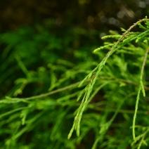 Chameocyparis pisifera 'Filifera Aurea'