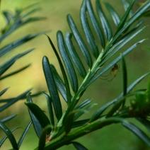 Taxus baccata fructolutea