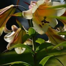 Lilium 'Trumpet seedlings'
